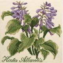 Elizabeth Bradley, Shade Garden, HOSTA ATLANTIS - 16x16 pollici